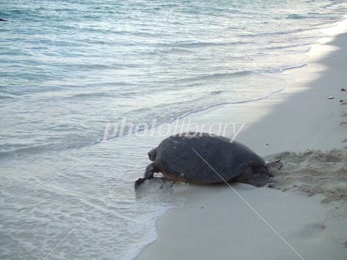 アオウミガメの画像 p1_16