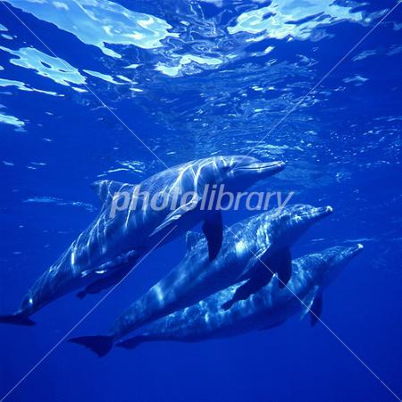 ハンドウイルカの画像 p1_30