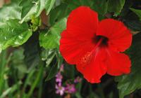 Hibiscus Stock photo [229] Hibiscus