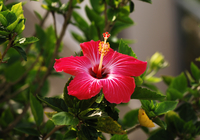 Hibiscus Stock photo [230] Hibiscus