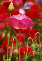 Poppy Stock photo [232] Poppy