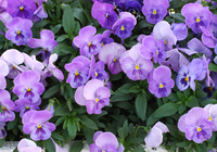 Pansy Stock photo [247] Pansy