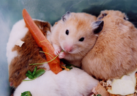 Hamster Stock photo [358] Hamster