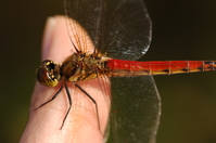 Red dragonfly Stock photo [527] Red