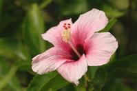 Hibiscus Stock photo [962] Hibiscus