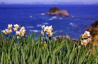Narcissus and the sea Stock photo [694910] Narcissus