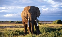 Elephant Stock photo [696264] Marsh