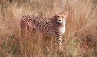 Cheetah Stock photo [696279] Cheetah