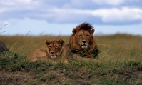 Lion Stock photo [696533] Africa