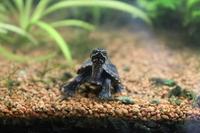 Sternotherus odoratus Stock photo [698384] Turtle