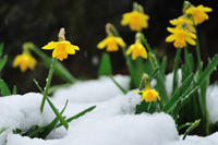 Bloom in the snow daffodil Stock photo [699476] Narcissus