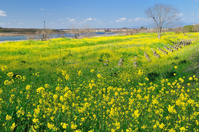 Of rape blossoms in full bloom Chikugo River Stock photo [700970] Rape