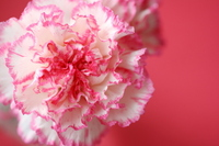 Carnation up Stock photo [703020] Mother's
