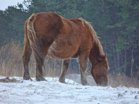 Cold start-horse Attaka wintering grazing land in the snowstorm Stock photo [703180] Winter