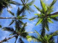 Hawaiian Palm trees Stock photo [703543] Hawaii
