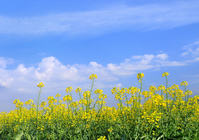 Rape blossoms and spring sky Stock photo [772413] Empty