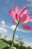 Swim lotus flowers, the sky Stock photo [777414] Lotus