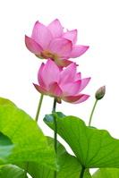 Lotus Stock photo [777718] Lotus