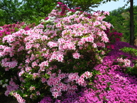 Azalea and phlox Stock photo [779745] Landscape