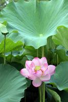 Lotus Stock photo [780577] Lotus