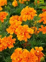 Marigold Stock photo [780761] Marigold