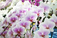 Phalaenopsis Stock photo [783958] Phalaenopsis
