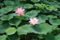 Lotus Stock photo [857856] Lotus