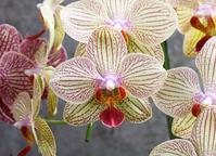 Phalaenopsis Stock photo [860276] Phalaenopsis