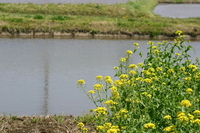 Rape flowers and paddy Stock photo [860571] Rape