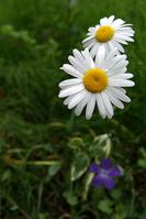 Margaret Stock photo [861691] Flower