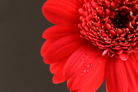 Red gerbera Stock photo [862368] Gerbera
