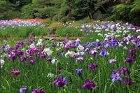 Of Heian Shrine iris Stock photo [862760] Heian