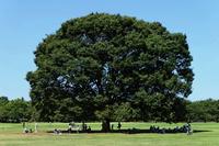 Tree of large zelkova Stock photo [862763] Zelkova