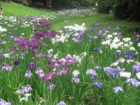 Acorus calamus Stock photo [863338] Flower