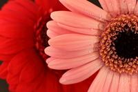 Gerbera Stock photo [865800] Gerbera