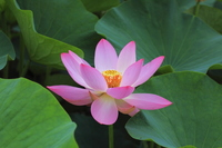 Ancient lotus Stock photo [867340] Lotus