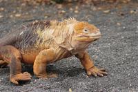 Galapagos land iguanas Stock photo [868780] Creatures