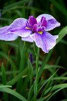 Varieties of iris, SankoNishiki Stock photo [869364] Japanese