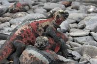 Galapagos marine iguana Stock photo [869641] Landscape