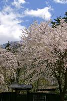Cherry Kakunodate Stock photo [870691] Cherry