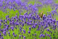 Ageha dance lavender fields Stock photo [870872] Papilio