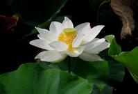 White lotus flower Stock photo [871193] Lotus