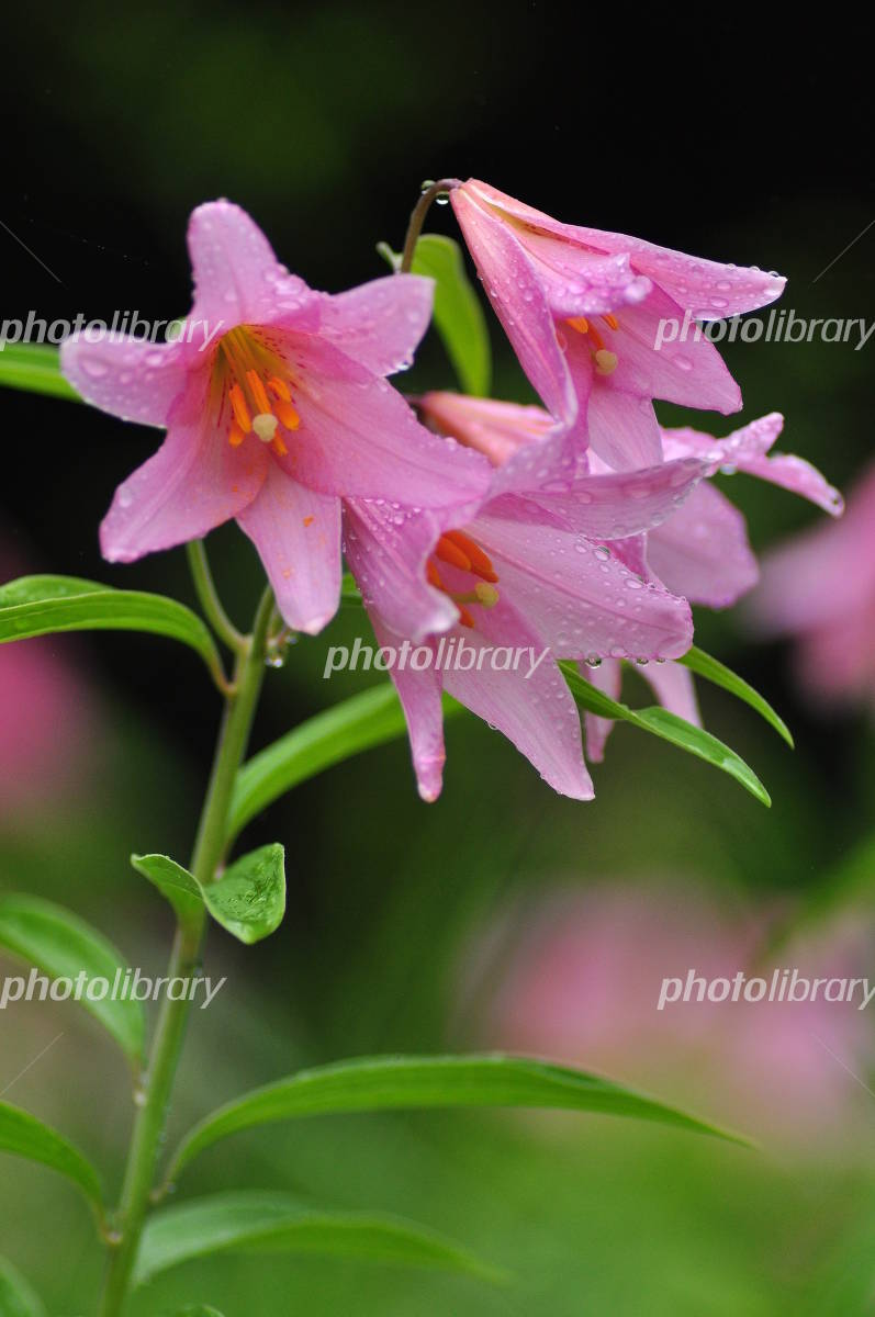 L. rubellum of flower Photo