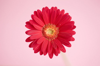 Gerbera flowers Stock photo [933455] Gerbera
