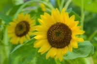 Sunflower Stock photo [933567] Sunflower