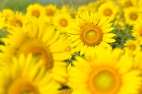 Sunflower field Stock photo [936236] Zama