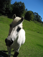 New Zealand horse Stock photo [936308] Horse