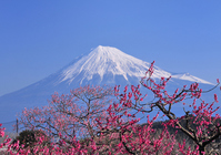 Plum and Mount Fuji Stock photo [936566] Mt.