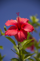 Red hibiscus Stock photo [936610] Hibiscus