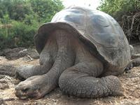 Galapagos giant tortoise Stock photo [938129] World